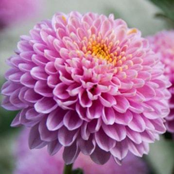 Chrysanthemen-min