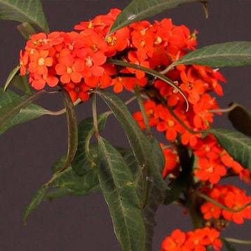 Euphorbia-min