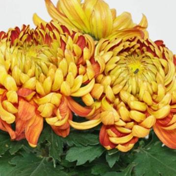 Großblumige chrysanthemen-min