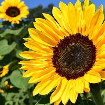 Sonnenblumen-min